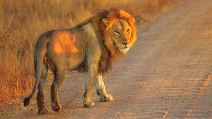 De leeuwenindustrie: elk jaar worden 12.000 leeuwen gefokt en afgemaakt om hun botten in Chinese medicijnen te gebruiken