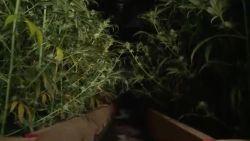 8.000 planten aangetroffen op 10 cannabisplantages in West- en Oost-Vlaanderen: drie verdachten in de cel