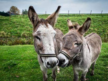 Mishandelde ezel Piet (9) komt terug naar huis dankzij zijn nieuwe maatje Anton