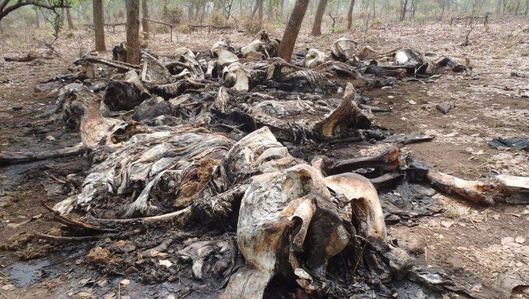 Door stropers achtergelaten kadavers van olifanten in het natuurreservaat Boubou Ndjida in Kameroen. Beeld ap