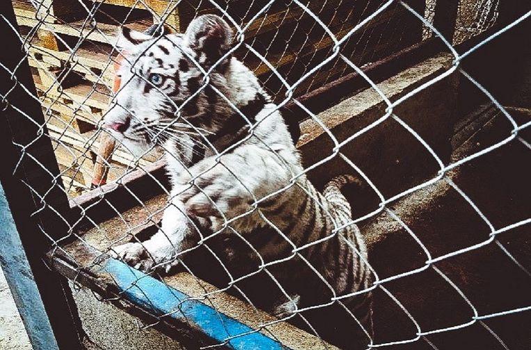 Een wit tijgerwelpje onderschept in Mexico.