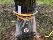 Breda voert strijd tegen eikenprocessierups op