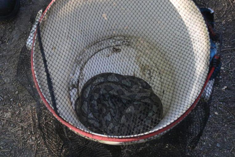 De slang, vermoedelijk een ruitpython, ligt opgerold in een emmer.