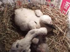 Ooievaartje dat uit nest werd gegooid in Opheusden kruipt in opvang tegen soortgenootjes aan