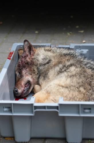 """Is Vlaanderen wel geschikt voor de wolf? """"We worden wolvenkerkhof van Europa, het gevolg van decennialang slecht natuurbeleid"""""""