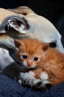 Iedereen is verliefd op Arie: de gedumpte kitten met kikkerpoten die werd gered van de straat