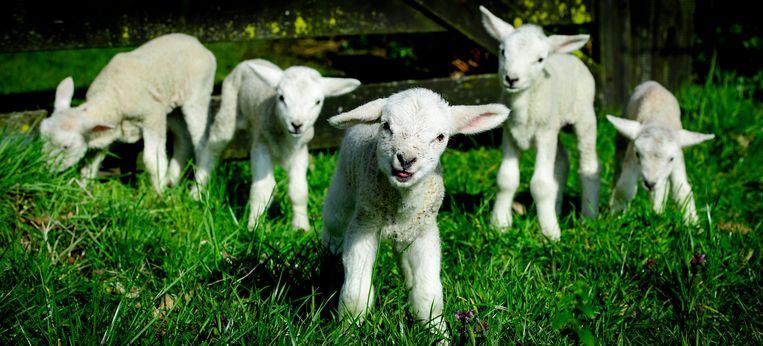 Lammetjes in het Overijsselse Witharen. Het is een vijfling, een zeldzame gebeurtenis. Het maakt de lente nóg specialer. Beeld ANP