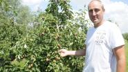 """Schade bij fruittelers groot na onverwachte hagelbui: """"80 procent van appels niet meer verkoopbaar"""""""