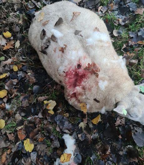 Hond bijt en jaagt op drachtige schapen in Hengelo: 'Eén lag gewond in de sloot'
