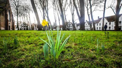 Nu al lente in Begijnhof: daar is eerste paasbloem