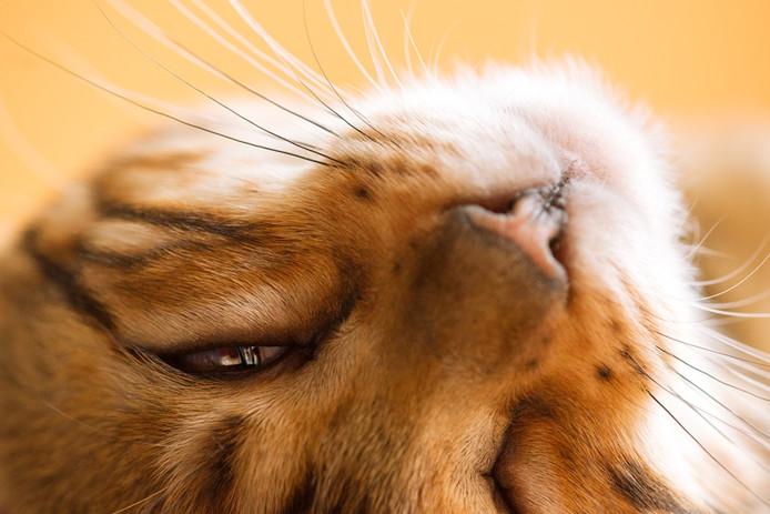 Zowel zwerfkatstichtingen als jagers willen dat poezen niet meer verwilderen.