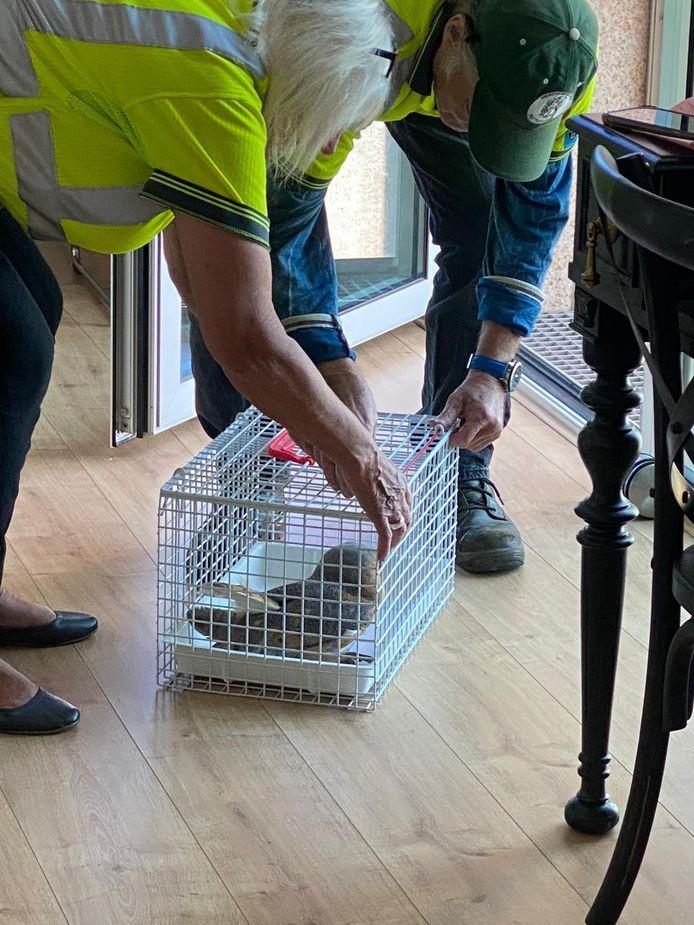 Medewerkers van de Dierenambulance hebben de jonge uil gevangen.