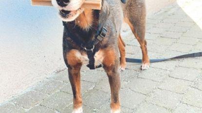 """Hond eet vijf vergiftigde gehaktballetjes maar overleeft het: """"We waren er gelukkig op tijd bij"""""""