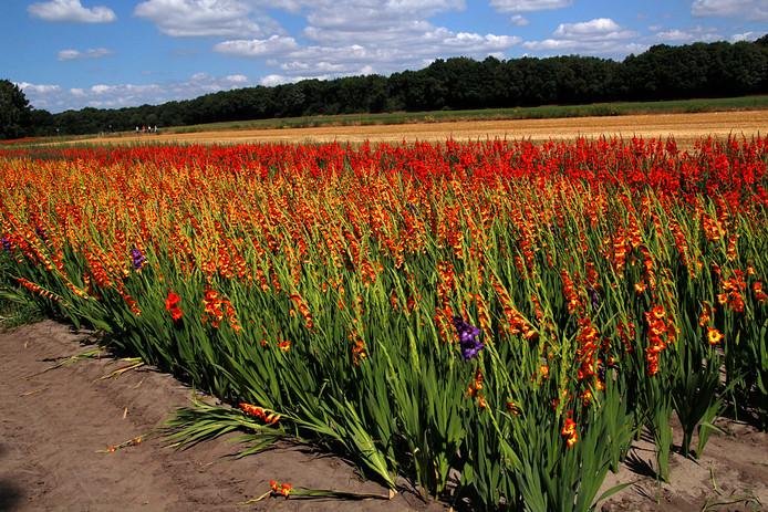 Een veld vol gladiolen.