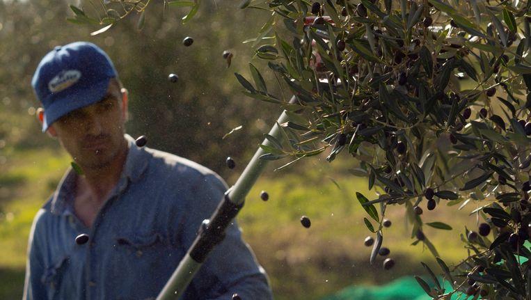 De olijvenpluk in Italië.