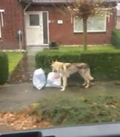 Rent er een wolf door de straten van Overijssel?