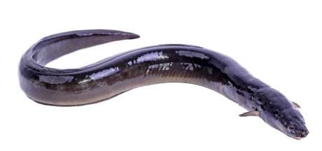 Palingvissers in De Wieden kunnen blijven vissen