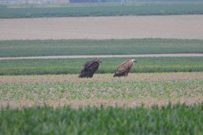 Twee gieren rusten uit in Limburg. En we gaan ze steeds vaker zien