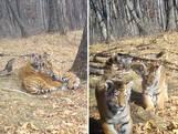 Bekijk hier unieke beelden van zeldzame tijgerwelpjes