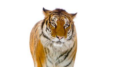 School regelt echte tijger voor schoolfeest met jungle-thema