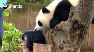 Deze panda heeft genoeg van al die selfies (en z'n dagelijkse bamboe)