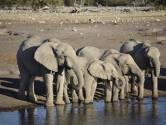 Frappée par la sécheresse, la Namibie vend 170 éléphants