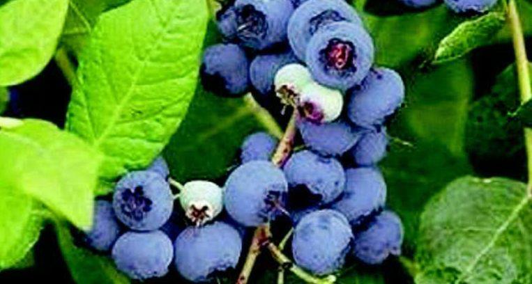 De blueberry of Amerikaanse bosbes is een perfecte struik. Hij is winterhard, nauwelijks gevoelig voor ziekten en gaat lang mee. (\N) Beeld
