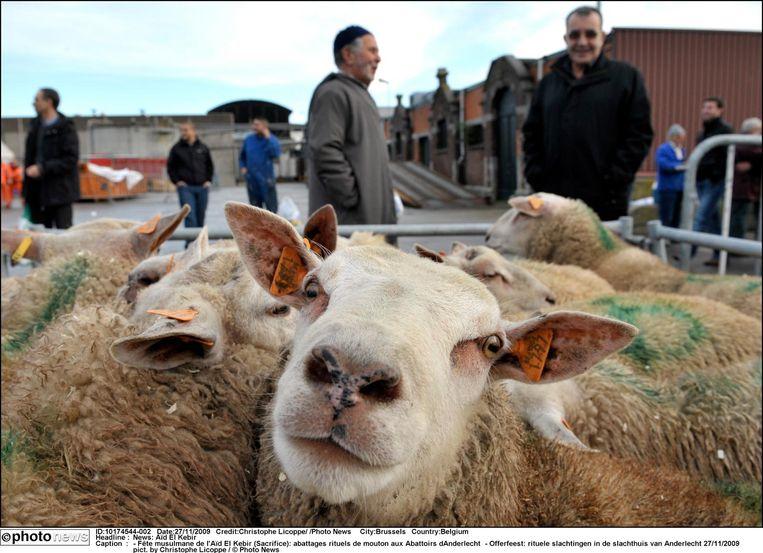 Offerfeest: rituele slachtingen in het slachthuis van Anderlecht