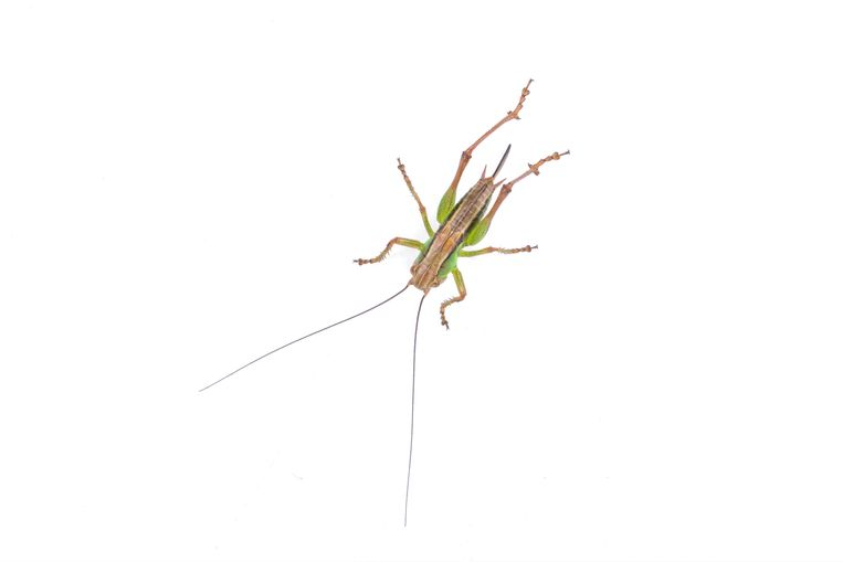 Green brown grasshopper isolated on a white background insecten tellen Beeld