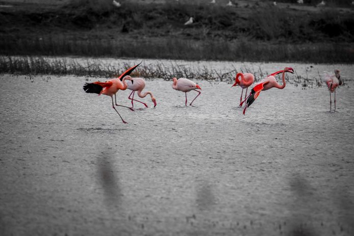 De flamingo's in het Zwillbrocker Venn.