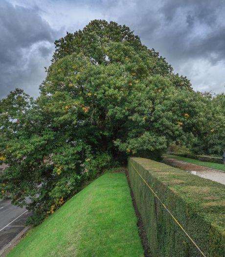 De mooiste boom van het jaar in België overleefde twee wereldoorlogen