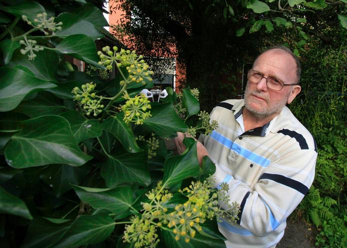 klimop , plant nu nog steeds in de bloemen , de plant blijft ook groen in de winter en is nuttig voor insecten. foto : Gerard van Offeren Mans de Jong bij de klimop in zijn tuin.