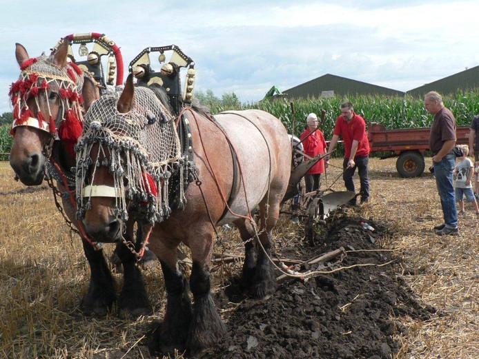De Belgische paarden ploegen voort