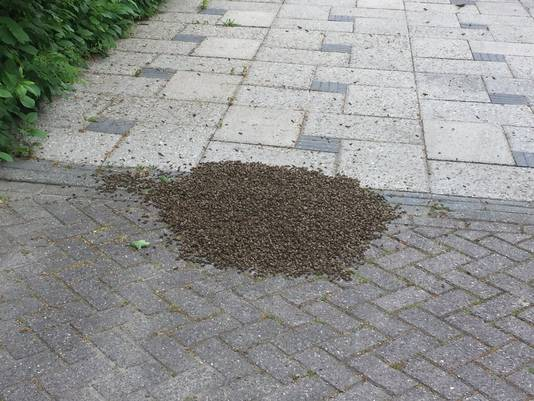 De zwerm bijen beschermt waarschijnlijk de koningin.