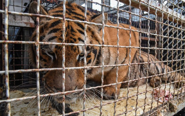 De tijgers werden in verschrikkelijke omstandigheden vervoerd.
