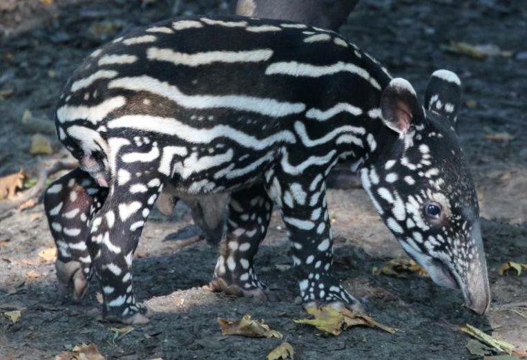 Het Maleise tapirkalfje Beeld Artis, Ronald van Weeren