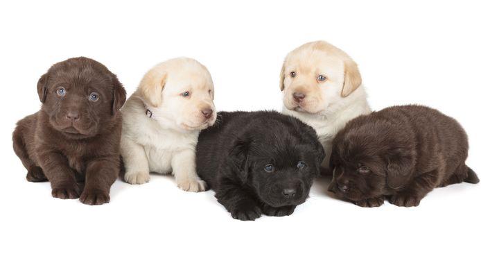 Onder andere labradorpuppies zijn populair bij de malifide handelaren