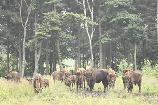Een beeld uit voorgaande jaren: de kudde wisenten met jonge kalfjes in de Maashorst.