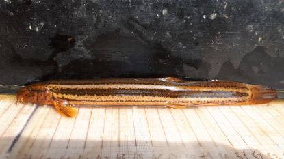 """Onvindbare vis """"grote modderkruiper"""" duikt op bij ruimen van gracht in Kuringen"""
