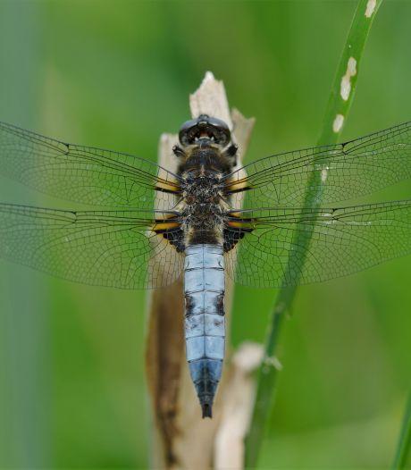 Fascinerende libellen kiezen het luchtruim boven Twente en de Achterhoek
