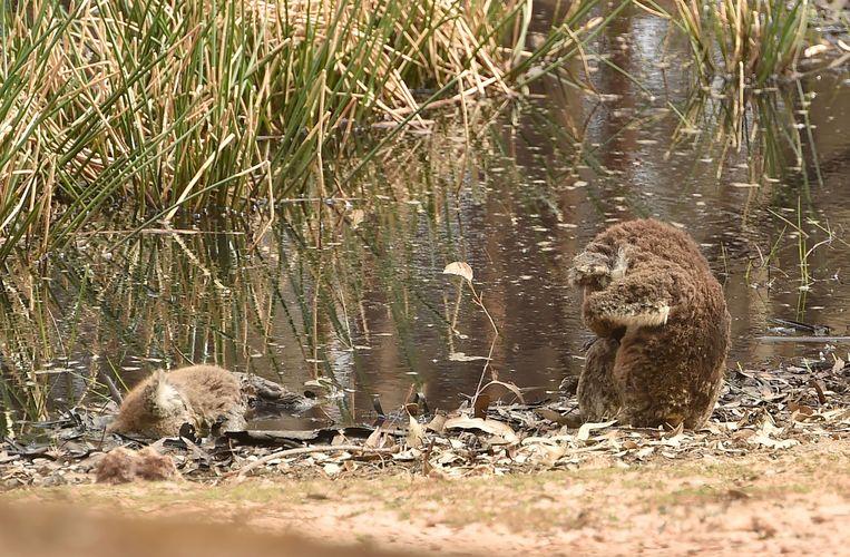 De gewonde koala bleef stilletjes staan bij het dode dier en leek te treuren om diens dood.