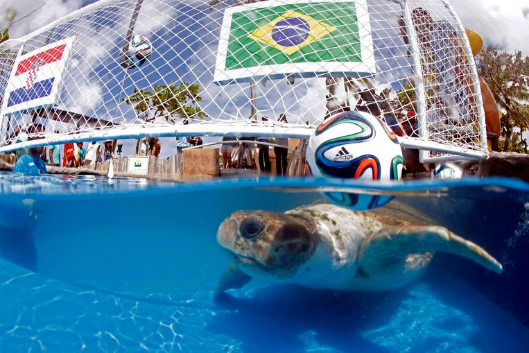 Cabecao de schildpad is één van de voorspellers dit jaar Beeld ap