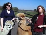 Sociaal, aandoenlijk en onwijs aaibaar: lopen met alpaca's