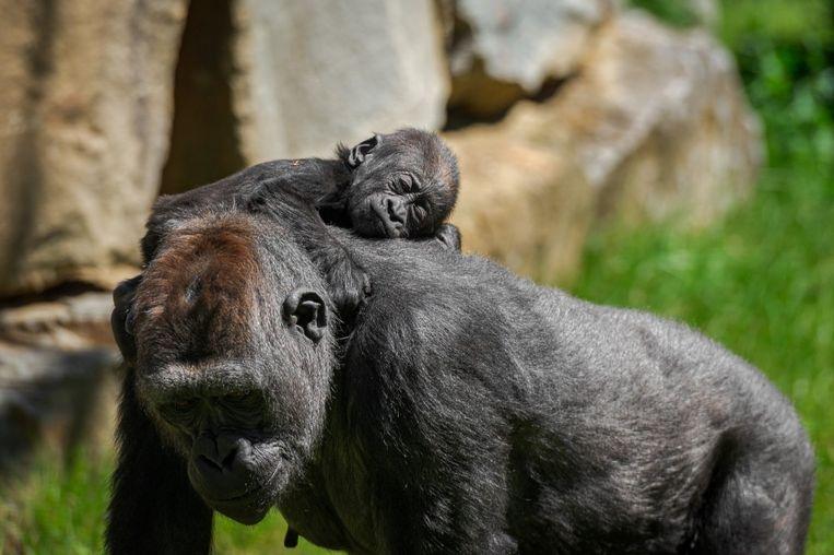 Babygorilla Thandie is ondertussen al een kleutertje van anderhalf jaar oud.
