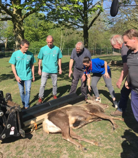 Kinderboerderij in Hengelo laat edelhert onvruchtbaar maken
