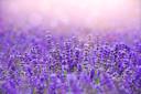 Lavendel heeft zo'n sterke geur dat het luizen af kan schrikken.