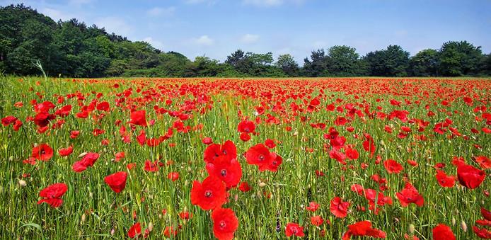 Op de grens van Teteringen en Oosterhout, staan grote hoeveelheden klaprozen te bloeien.