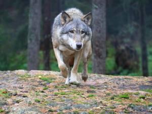 Comment s'appellera le loup des Fagnes? C'est à vous de choisir