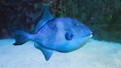 """""""Hij maakt elke dag slachtoffers"""": bijtgrage vis viseert kuiten en enkels van badgasten aan Côte d'Azur"""