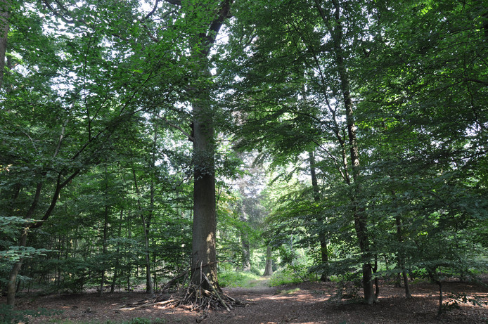 Oude bomen in het Liesbos maken plaats voor nieuwe.